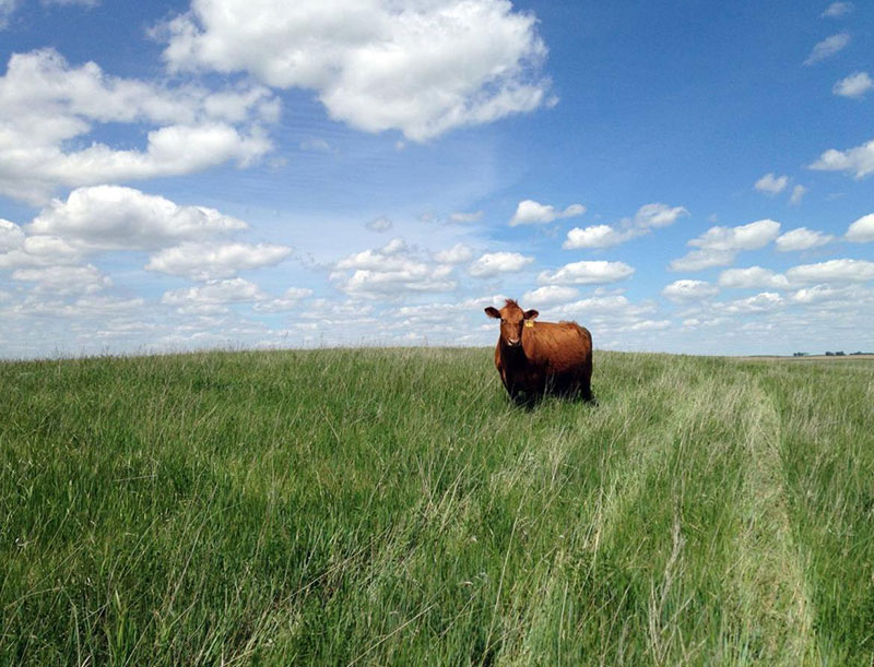 american farmers feed cow with grass